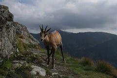 Шамуа Tatra & x28; Tatrica rupicapra Rupicapra & x29; Стоковые Изображения