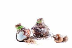 3 шарика амарулиса на белой предпосылке Стоковые Изображения RF