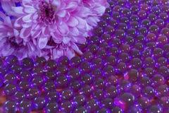 Шарики воды хризантемы и гидрогеля Стоковые Фото