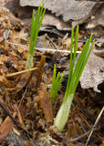 Шарики крокуса пусканные ростии в опилк Стоковая Фотография