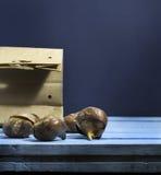 Шарики тюльпана голубая деревянная предпосылка Стоковое Фото