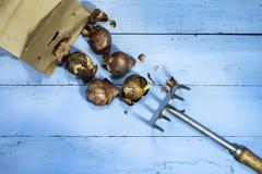 Шарики тюльпана с гребком на голубой деревянной предпосылке Стоковое фото RF