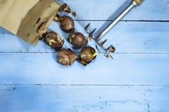 Шарики тюльпана с гребком на голубой деревянной предпосылке Стоковое Изображение RF