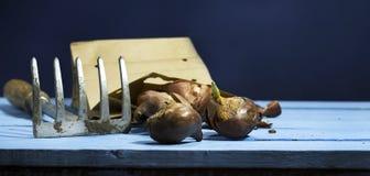 Шарики тюльпана с гребком на голубой деревянной предпосылке Стоковые Фотографии RF