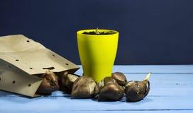 Шарики тюльпана с aflowerpot на голубой деревянной предпосылке Стоковые Изображения