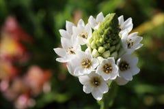 Шарик белых цветков стоковое изображение rf