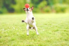 Шарик игрушки смешной собаки улавливая поднимая вверх и балансируя с передними лапками стоковое фото rf