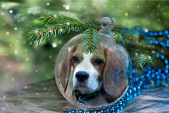 Шарик рождества с собакой бигля под рождественской елкой стоковые изображения