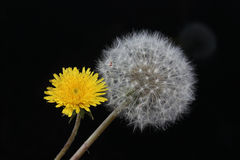 Шарик дуновения цветка одуванчика стоковая фотография rf