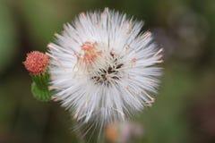 Шарик цветка Стоковое Изображение RF