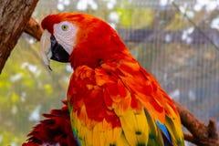 Шарлах или красный попугай ары стоковые фотографии rf