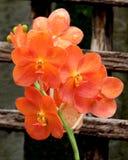 шарлах красного цвета орхидеи Стоковые Фото