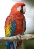 шарлах красного цвета попыгая Мексики macaw cancun птицы стоковая фотография rf