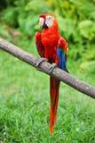шарлах попыгая macaw стоковое изображение rf