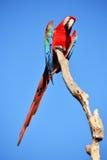 шарлах попыгая macaw стоковые фотографии rf