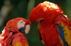 шарлах 01 macaw стоковое изображение rf