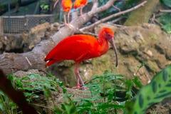 Шарлах ibis в зоопарке стоковые изображения rf