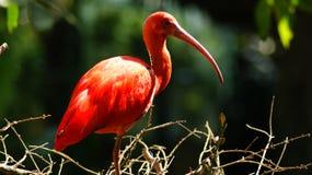 Шарлах ibis в зоопарке стоковое фото rf