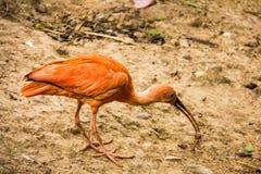 Шарлах Ibis есть в парке, ruber Eudocimus стоковые изображения rf