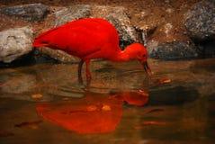 шарлах ibis стоковые фото