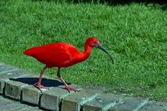 Шарлах Ibis, Южная Африка Стоковые Фотографии RF