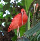 шарлах ibis стоковые изображения