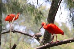 шарлах ibis Стоковое Изображение