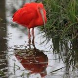 шарлах ibis Стоковое Изображение RF