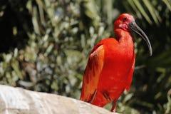 Шарлах Ibis, Eudocimus Ruber стоя на одной ноге стоковое изображение rf