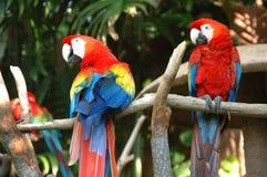 шарлах macaw стоковое фото rf