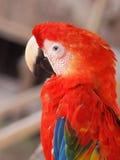 шарлах macaw стоковое изображение rf