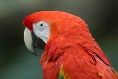 шарлах macaw Стоковые Фотографии RF