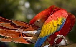 шарлах macaw preening Стоковые Фото