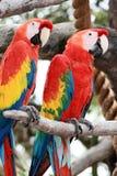 шарлах macaws стоковое изображение