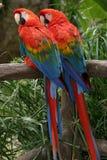 шарлах macaws стоковое изображение rf