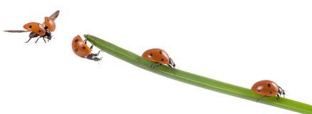 Шарм удачи Ladybug Стоковые Фото