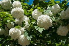 Шаровидные головы цветка куста снежного кома Стоковое Изображение