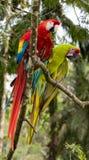 Шарлах & большая зеленая ара Стоковая Фотография RF