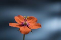Шарлах красного pimpernel поворачивая против голубой предпосылки селективно Стоковое Фото