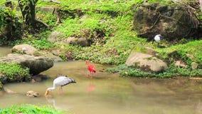 Шарлах Ibis и прогулка крана сибиряка вдоль зеленого каменистого банка сток-видео