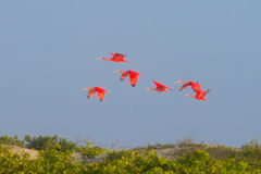 Шарлах ibis от национального парка Lencois Maranhenses, Бразилии стоковое изображение