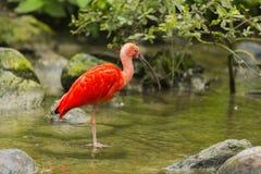 шарлах ibis Стоковое фото RF