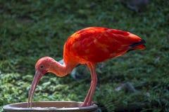 шарлах ibis стоковая фотография