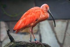 Шарлах ibis & x28; Ruber& x29 Eudocimus; стоковое изображение
