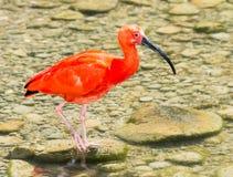 Шарлах Ibis wading через воду Стоковые Фото