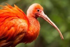 шарлах ruber ibis eudocimus Стоковые Фото