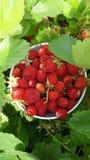 Шар красных клубник в зеленом саде Стоковые Фотографии RF