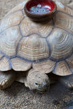 Шар собрания монетки на раковине черепахи Стоковая Фотография RF