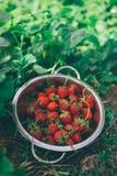 Шар с свеже выбранными доморощенными органическими клубниками Стоковые Фотографии RF