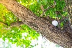Шар для игры в гольф в дереве Стоковые Изображения RF